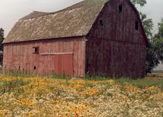 picture of yellow asters and old red barn